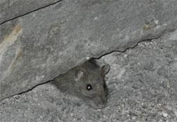 Viterbo - Mouse in Gabinetti Pubblici