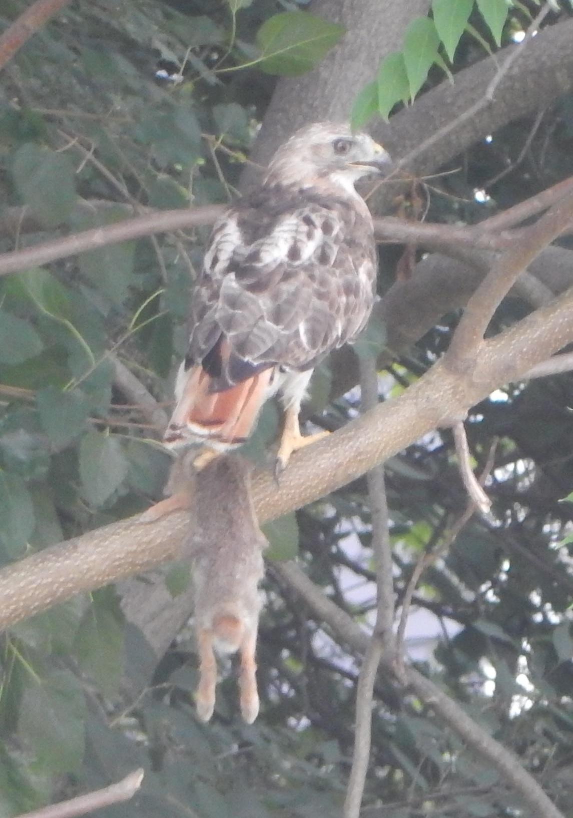 Bird with a pray 2016-08-06 Warren