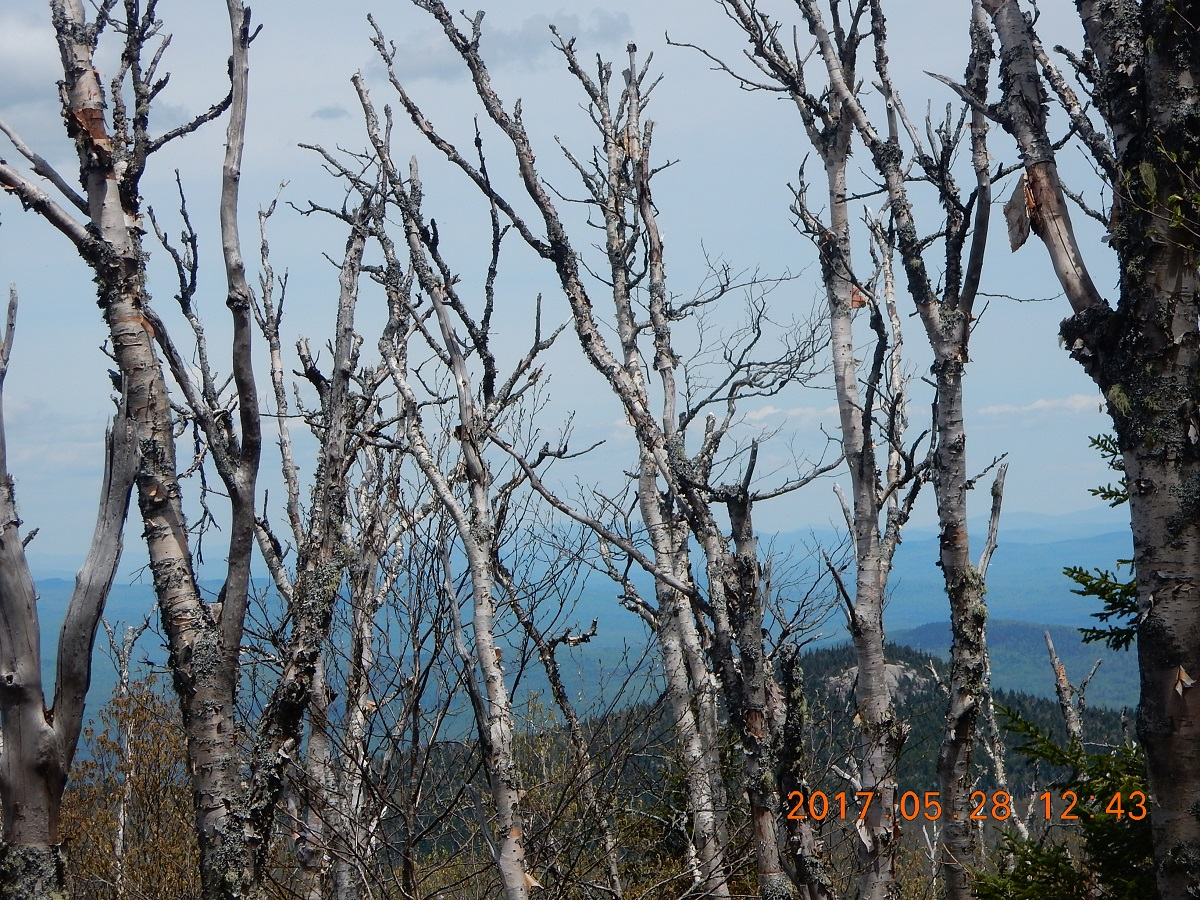 05-28 12;43 Dying birch trees
